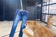 Quần jeans bị sư tử xé rách có giá 639 USD