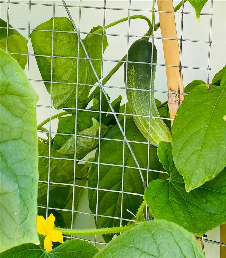 Ngắm vườn rau và nấm sạch do chính tay MC Đại Nghĩa tự trồng trên sân thượng nhà mình ở quận 7, TP HCM-5