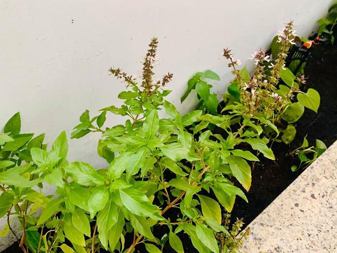 Ngắm vườn rau và nấm sạch do chính tay MC Đại Nghĩa tự trồng trên sân thượng nhà mình ở quận 7, TP HCM-6
