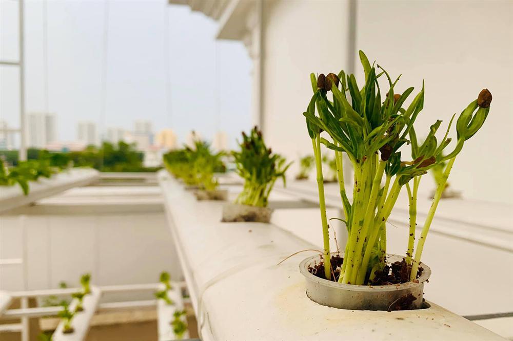 Ngắm vườn rau và nấm sạch do chính tay MC Đại Nghĩa tự trồng trên sân thượng nhà mình ở quận 7, TP HCM-7