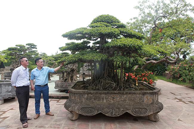 Đại gia Hà Nội chi 24 tỷ mua 2 cây sanh danh tiếng bậc nhất-2