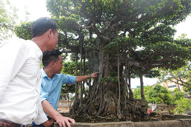 Đại gia Hà Nội chi 24 tỷ mua 2 cây sanh danh tiếng bậc nhất-9