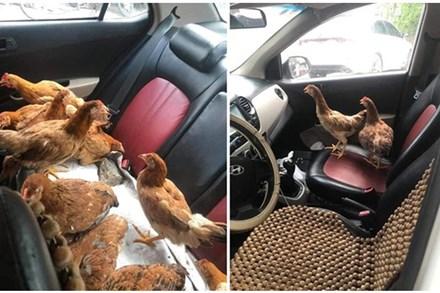 Cả đàn gà thoải mái ngồi trong ô tô điều hòa mát lạnh khiến người đi đường