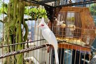 """Siêu phẩm chim cảnh """"cực độc"""" của đại gia Hà Nội, trả nửa tỷ một con cũng không bán"""