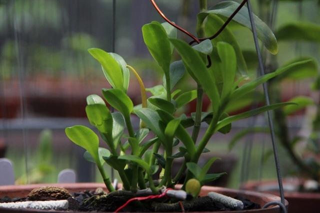 Mua 3 cây lan đột biến gene giá 32 tỷ, người thật việc thật ở Bình Phước-3