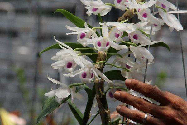 Thông tin về người mua 3 cây lan đột biến ở Bình Phước