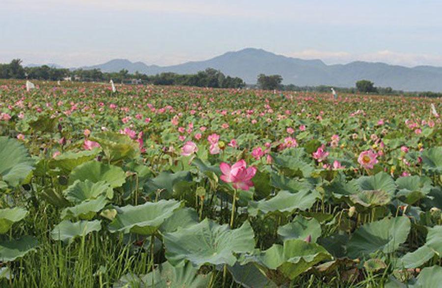 Cả làng trồng sen, chỉ bán hạt cũng lãi gấp đôi so với cấy lúa-1