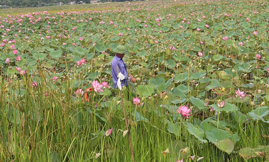 Cả làng trồng sen, chỉ bán hạt cũng lãi gấp đôi so với cấy lúa-2