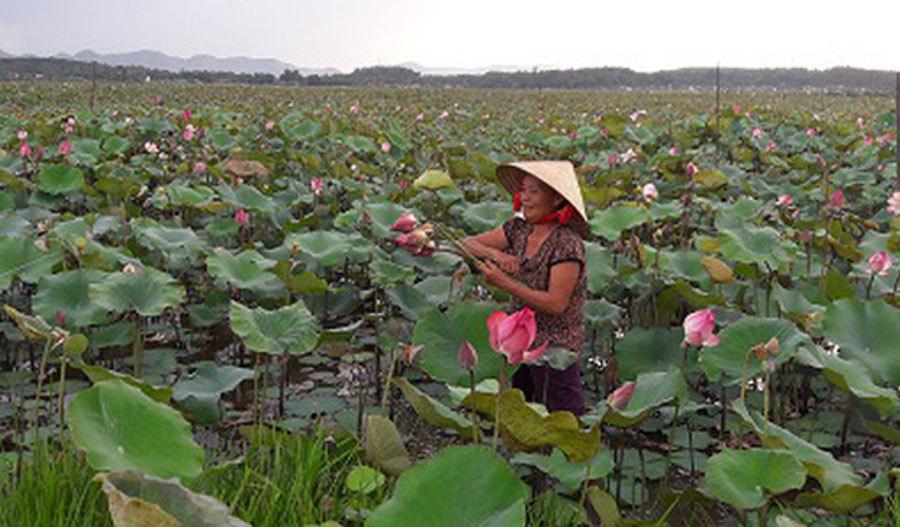 Cả làng trồng sen, chỉ bán hạt cũng lãi gấp đôi so với cấy lúa-3