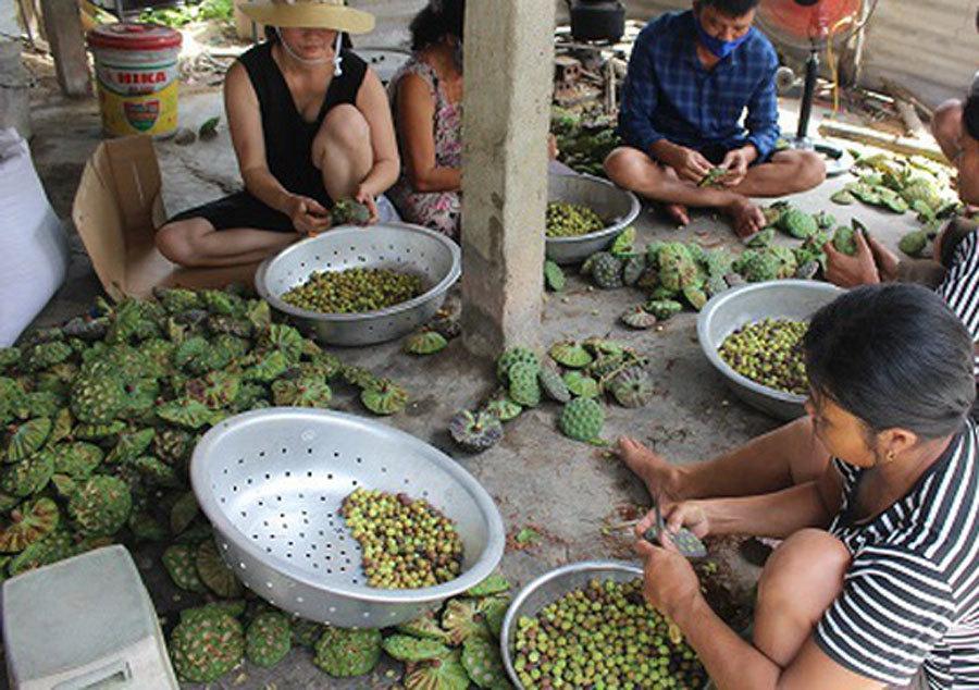 Cả làng trồng sen, chỉ bán hạt cũng lãi gấp đôi so với cấy lúa-4