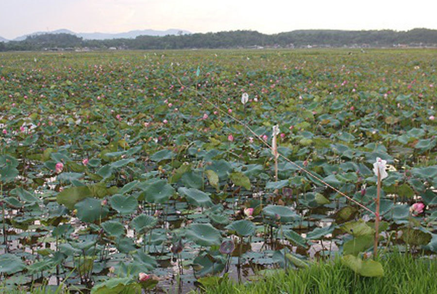Cả làng trồng sen, chỉ bán hạt cũng lãi gấp đôi so với cấy lúa-5