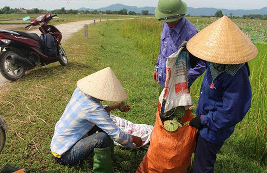 Cả làng trồng sen, chỉ bán hạt cũng lãi gấp đôi so với cấy lúa-7