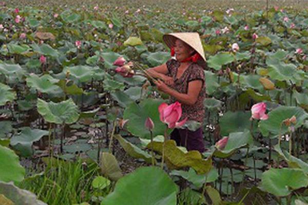 Trồng sen lấy hạt bán, người dân thu tiền lãi gấp đôi cây lúa
