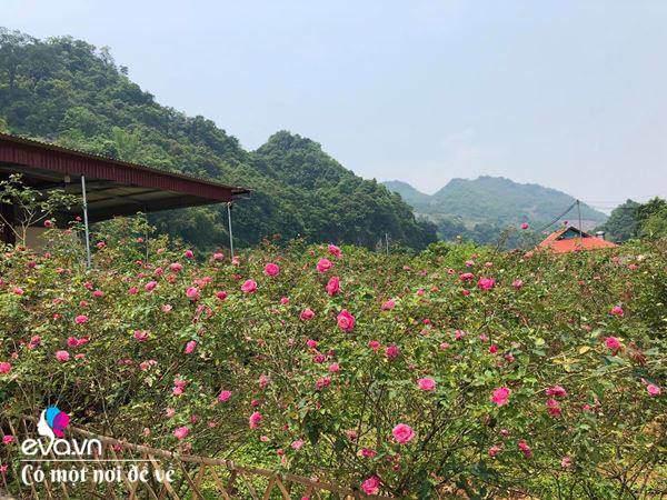 """Bỏ phố lên rừng"""", vợ chồng 8X đến Mộc Châu dựng nhà sàn, trồng lúa nương trong vườn 5000m²-17"""