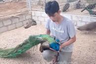 Chàng trai Hải Phòng nuôi chim 'phong thủy', chỉ bán lông đuôi đã kiếm bộn tiền