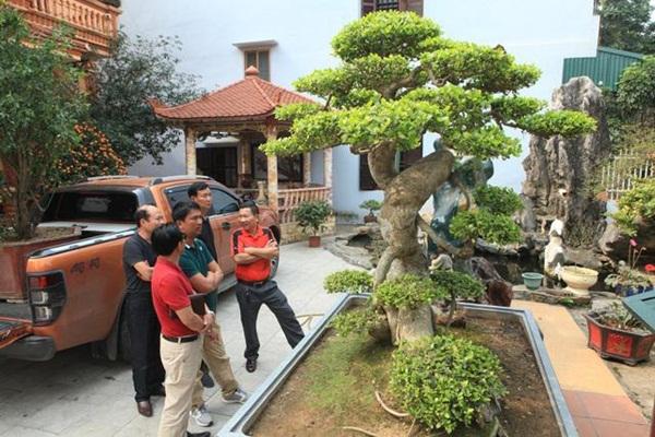 Chiêm ngưỡng cây sanh ngọa hổ tàng long 30 tỷ đồng của đại gia Toàn đôla ở Phú Thọ-1