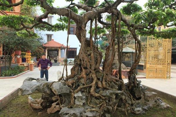 Chiêm ngưỡng cây sanh ngọa hổ tàng long 30 tỷ đồng của đại gia Toàn đôla ở Phú Thọ-3