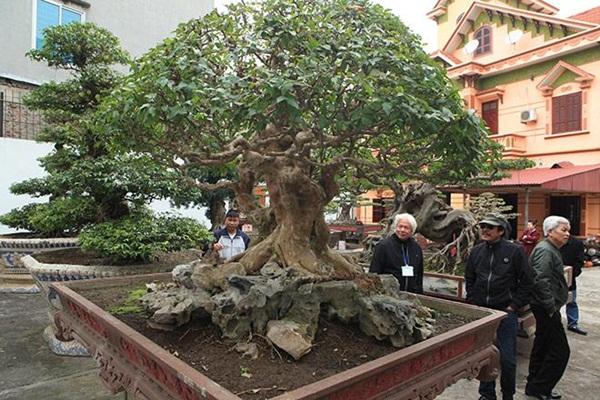 Chiêm ngưỡng cây sanh ngọa hổ tàng long 30 tỷ đồng của đại gia Toàn đôla ở Phú Thọ-5