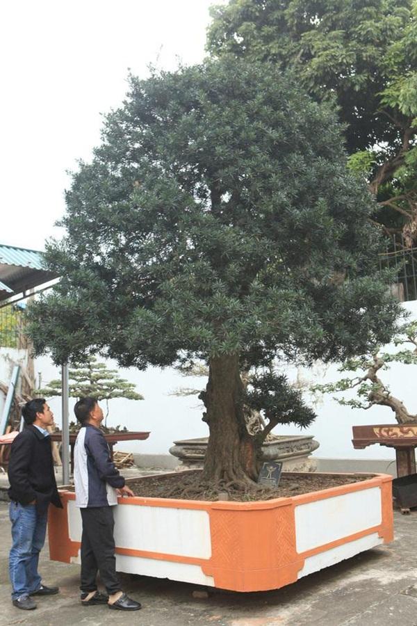 Chiêm ngưỡng cây sanh ngọa hổ tàng long 30 tỷ đồng của đại gia Toàn đôla ở Phú Thọ-11