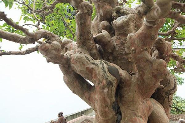 Chiêm ngưỡng cây sanh ngọa hổ tàng long 30 tỷ đồng của đại gia Toàn đôla ở Phú Thọ-8