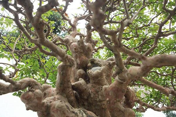 Chiêm ngưỡng cây sanh ngọa hổ tàng long 30 tỷ đồng của đại gia Toàn đôla ở Phú Thọ-9