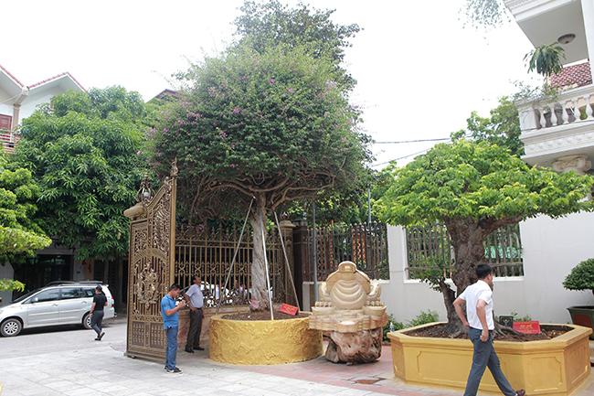 Loại cây mọc hoang ven đường, đại gia mua giá 3 tỷ gây xôn xao-1