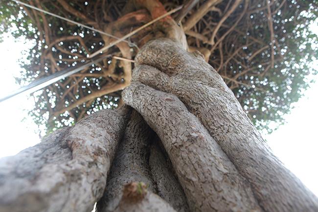 Loại cây mọc hoang ven đường, đại gia mua giá 3 tỷ gây xôn xao-10