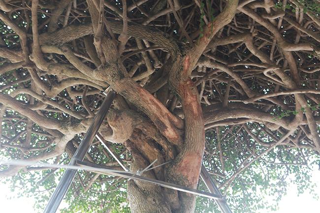 Loại cây mọc hoang ven đường, đại gia mua giá 3 tỷ gây xôn xao-12