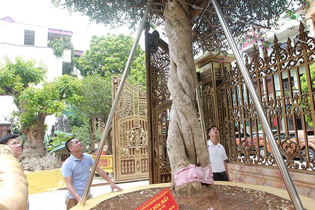 Loại cây mọc hoang ven đường, đại gia mua giá 3 tỷ gây xôn xao-14