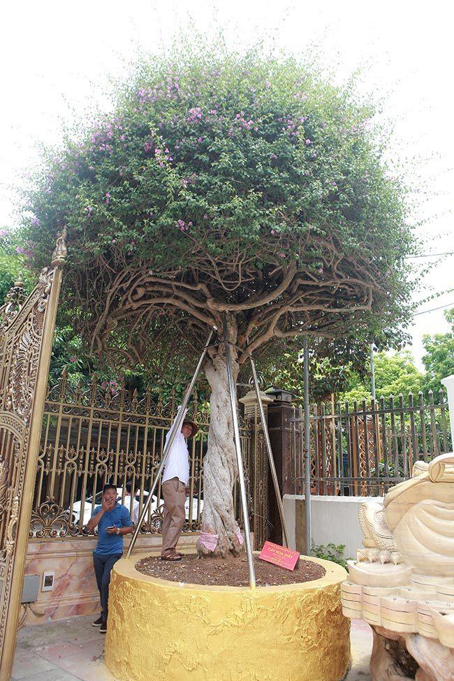 Loại cây mọc hoang ven đường, đại gia mua giá 3 tỷ gây xôn xao-2