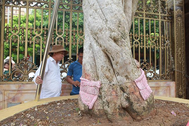 Loại cây mọc hoang ven đường, đại gia mua giá 3 tỷ gây xôn xao-7