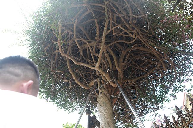 Loại cây mọc hoang ven đường, đại gia mua giá 3 tỷ gây xôn xao-8