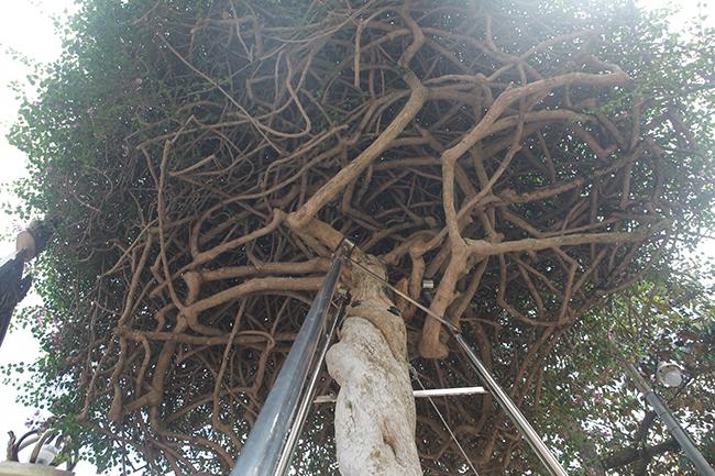Loại cây mọc hoang ven đường, đại gia mua giá 3 tỷ gây xôn xao-9