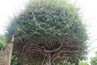 Loại cây mọc hoang ven đường, đại gia mua giá 3 tỷ gây xôn xao