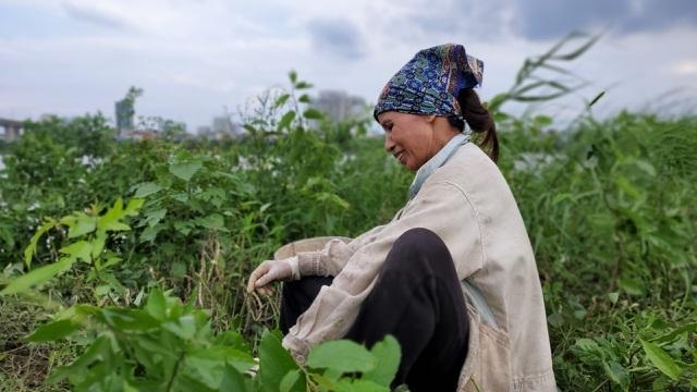 Dậy từ 2 giờ hái rau bí, bà trùm kiếm tiền triệu nơi bãi giữa sông Hồng-4