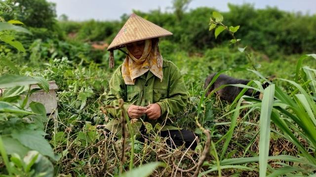 Dậy từ 2 giờ hái rau bí, bà trùm kiếm tiền triệu nơi bãi giữa sông Hồng-7