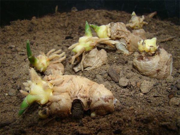 Dùng tăm đâm vào nhánh gừng, vài tháng sau có gừng ăn tẹt ga, xanh đẹp ngỡ ngàng-1
