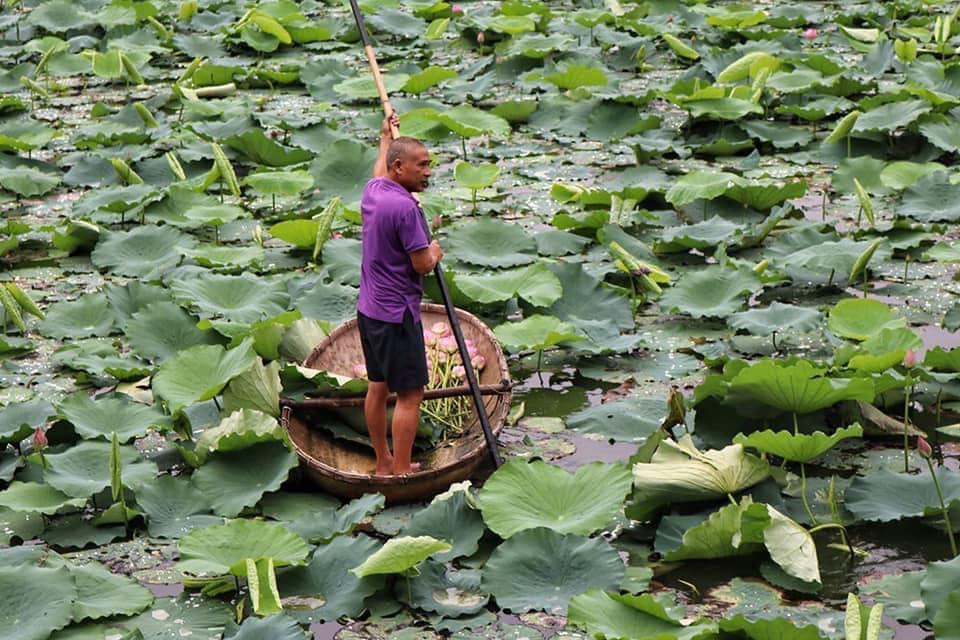 Mùa sen về, trà ướp bông sen tươi 40 ngàn/bông đắt khách, người làng sen Tây Hồ ngày bán gần 1000 bông cho khách mang đi biếu-1