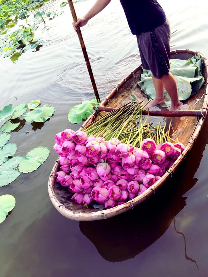 Mùa sen về, trà ướp bông sen tươi 40 ngàn/bông đắt khách, người làng sen Tây Hồ ngày bán gần 1000 bông cho khách mang đi biếu-2