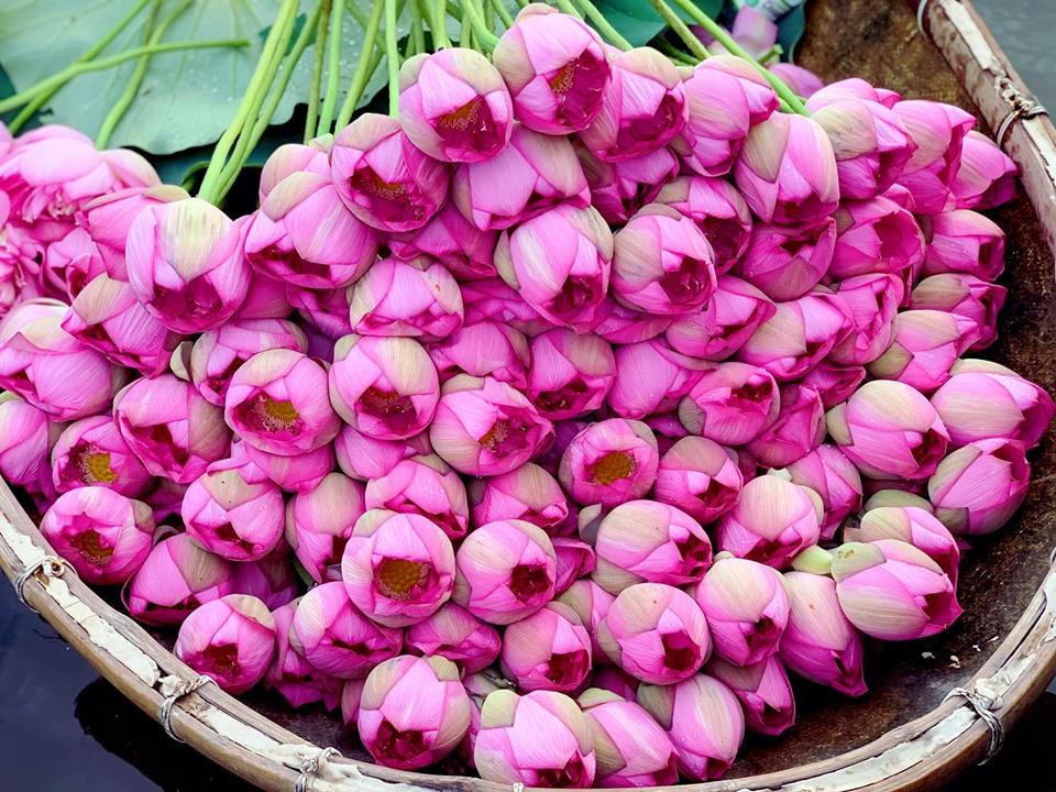 Mùa sen về, trà ướp bông sen tươi 40 ngàn/bông đắt khách, người làng sen Tây Hồ ngày bán gần 1000 bông cho khách mang đi biếu-3