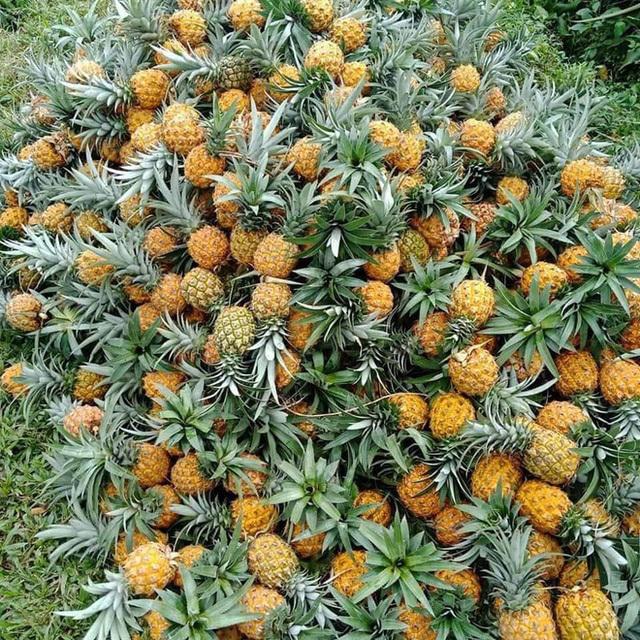 Thực hư dứa Thái mini siêu ngọt giảm giá sập sàn 10.000 đồng/kg-2
