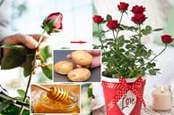 Cách trồng hoa hồng từ một cành cụt thành nhiều bông nở rộ ai ngắm cũng 'phải lòng'