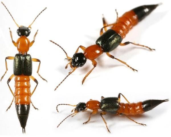 TP.HCM: Báo động bỏng, viêm da do kiến ba khoang-3