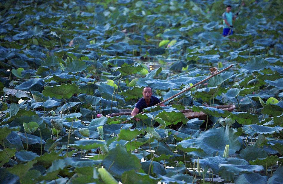 Thu nhập khủng nhờ trồng sen Hồ Tây-2