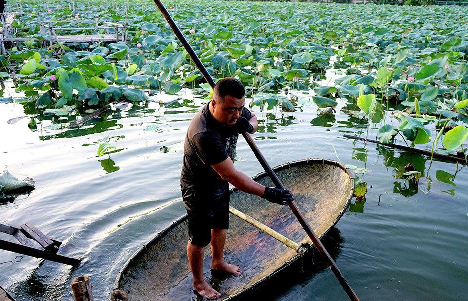 Thu nhập khủng nhờ trồng sen Hồ Tây-3