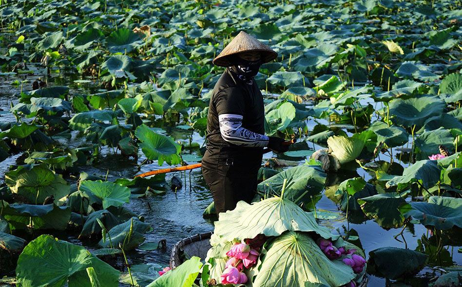 Thu nhập khủng nhờ trồng sen Hồ Tây-4