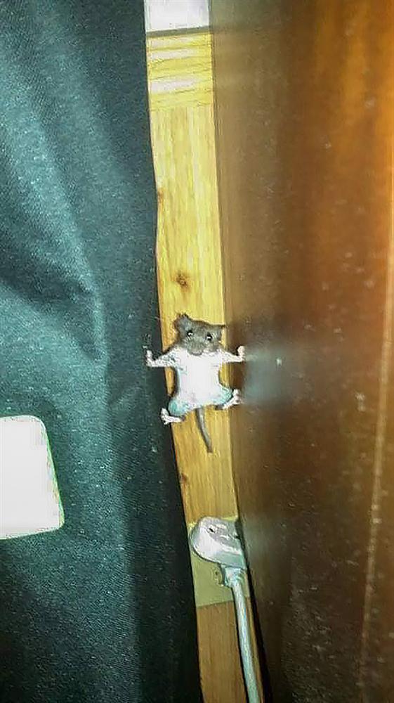 Tom và Jerry phiên bản đời thực: Chú chuột vận dụng kỹ năng lẩn trốn như siêu trộm, khi bị phát hiện lại có khuôn mặt thảo mai xin được tha cho lần này-2