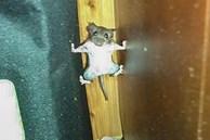 Tom và Jerry phiên bản đời thực: Chú chuột vận dụng kỹ năng lẩn trốn như siêu trộm, khi bị phát hiện lại có khuôn mặt 'thảo mai' xin được tha cho lần này