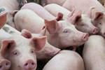 Mua thịt lợn nhập khẩu Thái Lan ở đâu?-2