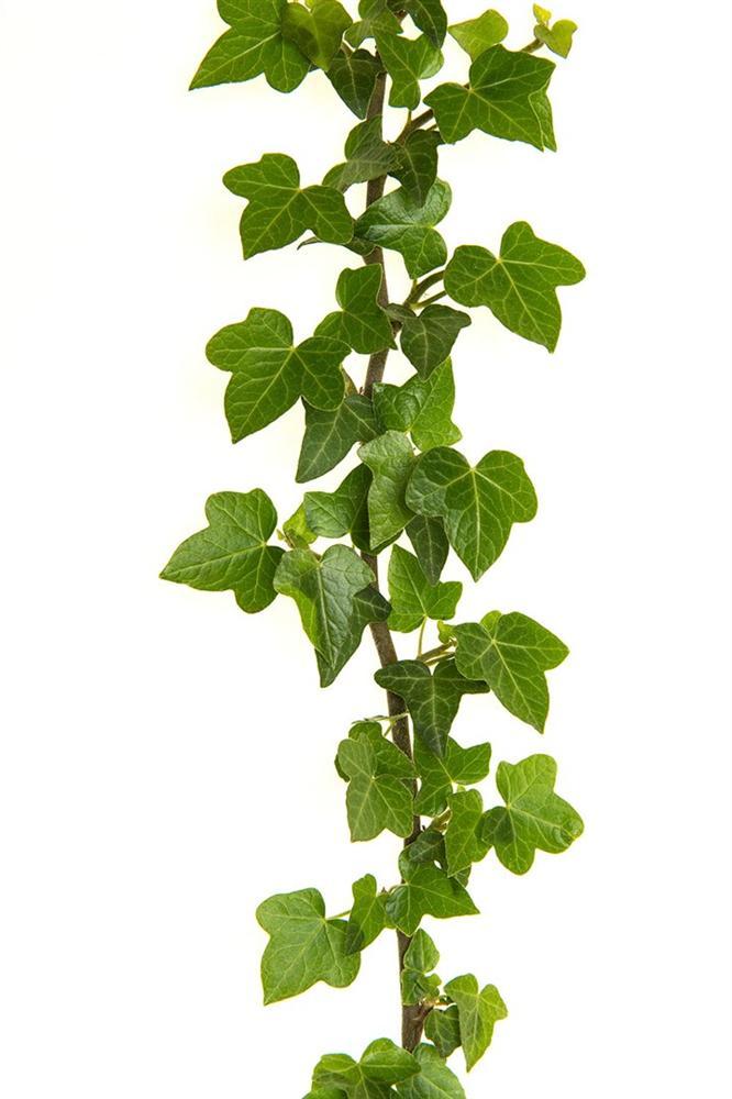 4 loại cây cảnh trồng vừa làm đẹp nhà vừa có thể giảm dị ứng từ chất độc có trong không khí-4